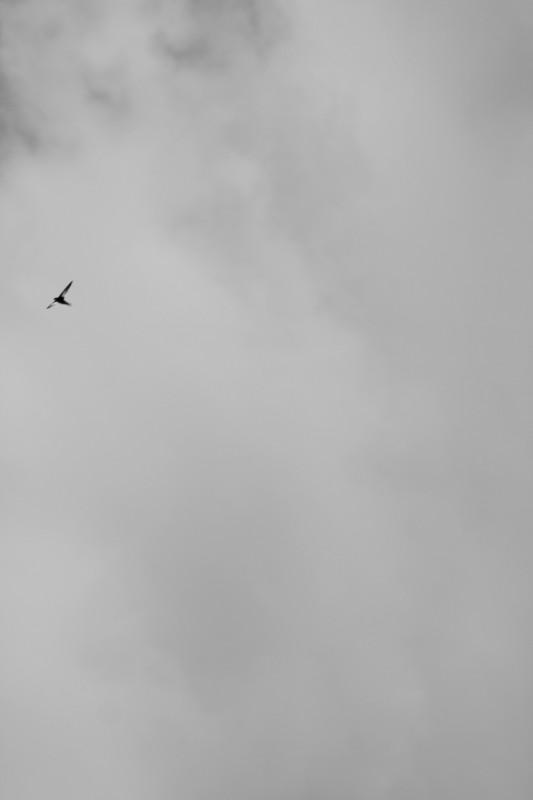 martinet volant dans un ciel nuageux, martinet en haut à gauche de l'image