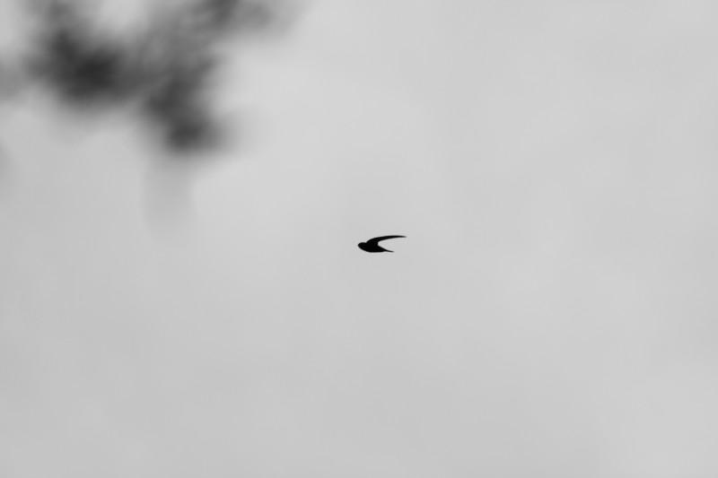 martinet au milieu de l'image volant dans le ciel, flou d'arbre dans le coin gauche de l'image