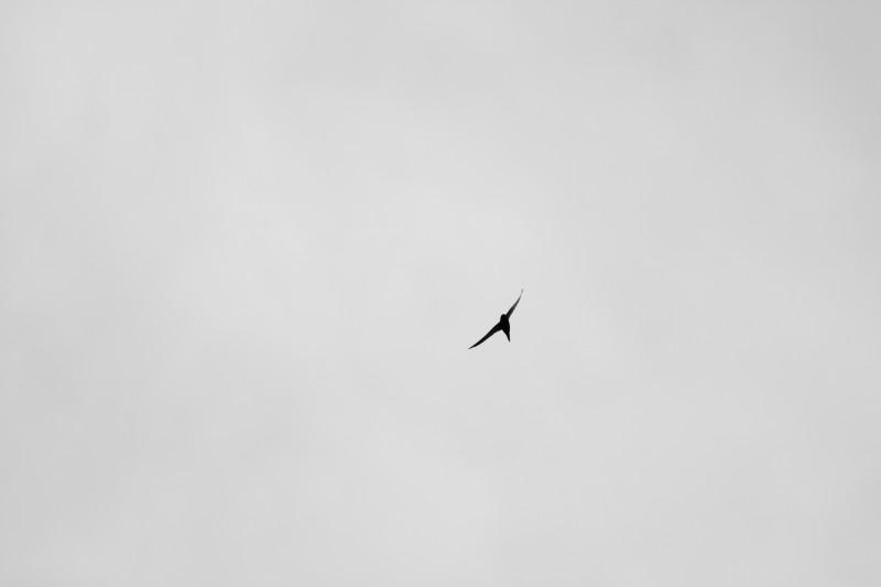 martinet volant dans un ciel nuageux