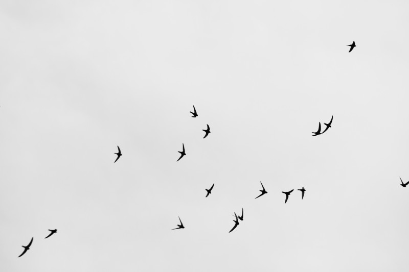 groupe de martinets virevoltant dans le ciel