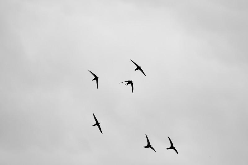 groupe de martinets sur ciel nuageux