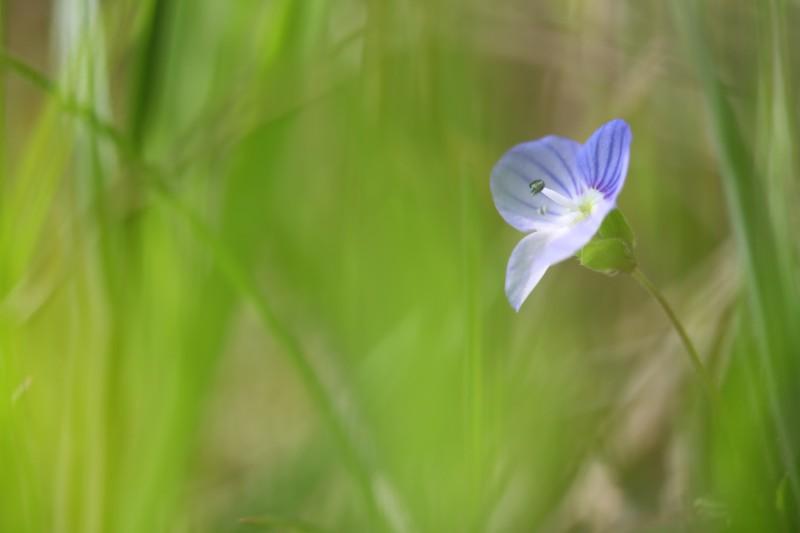petite fleur bleue derrière un voile vert de l'herbe