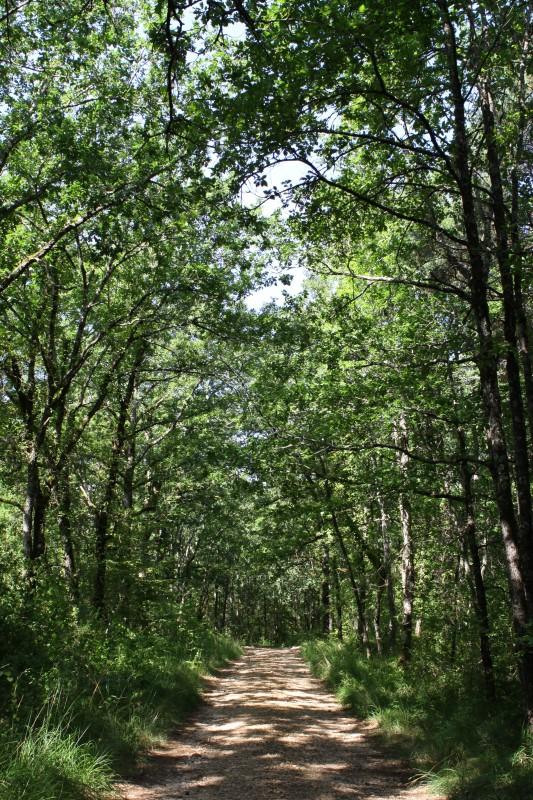 chemin de forêt, arbres verts et ombres, orientation portrait