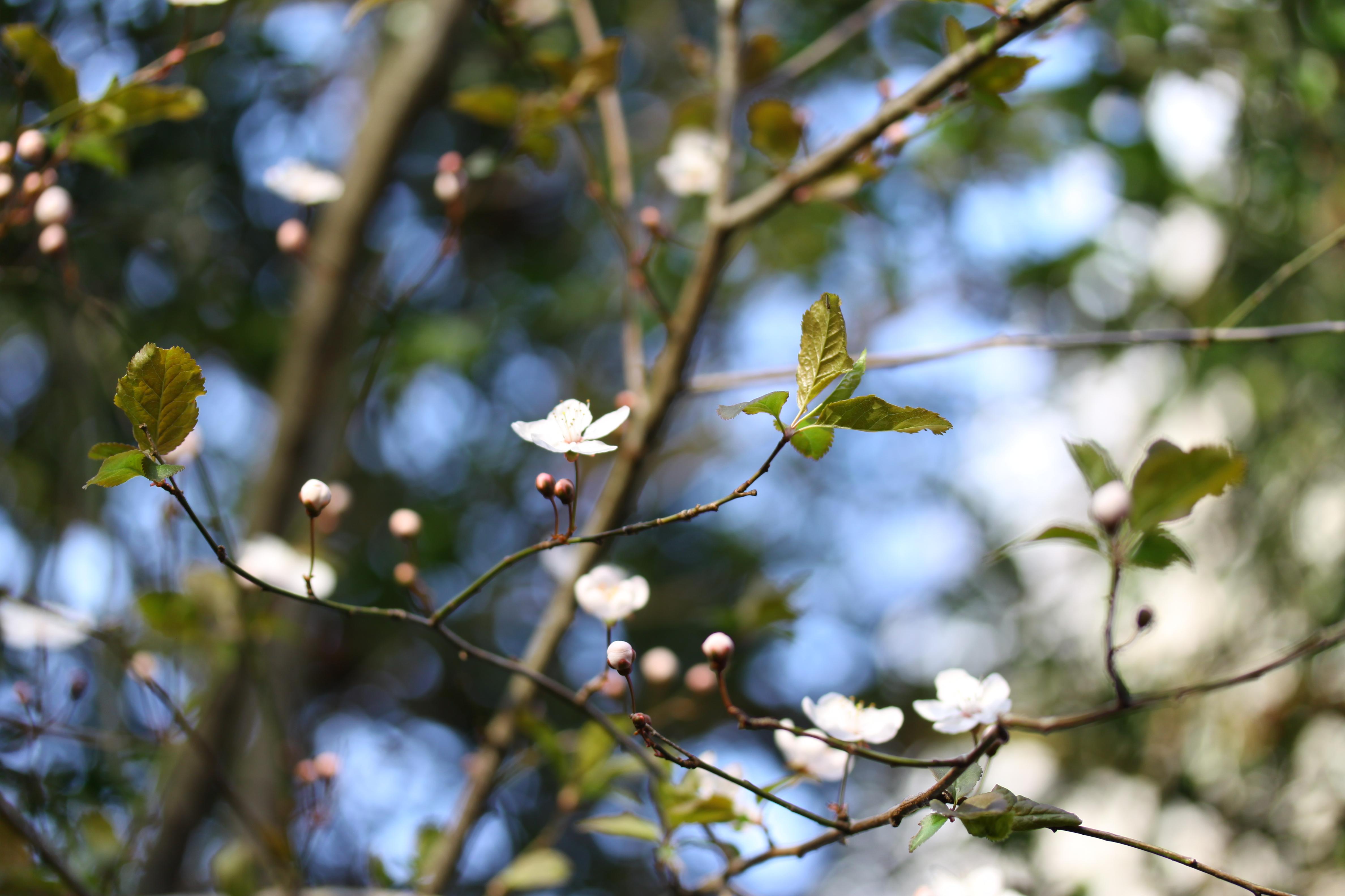 branches d'arbre dans le vent avec petites fleurs blanches