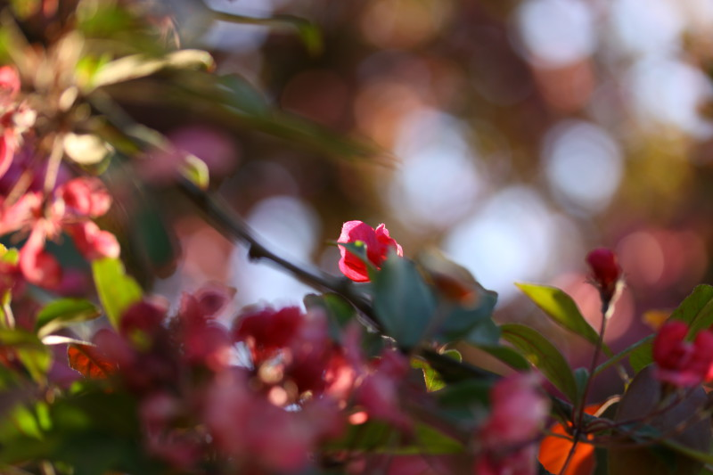 macro de fleur rose illuminée par le soleil du soir, bookeh