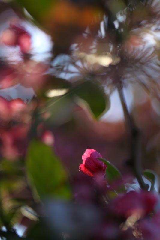 macro de fleur rose illuminée par le soleil du soir, bookeh, disposition portrait