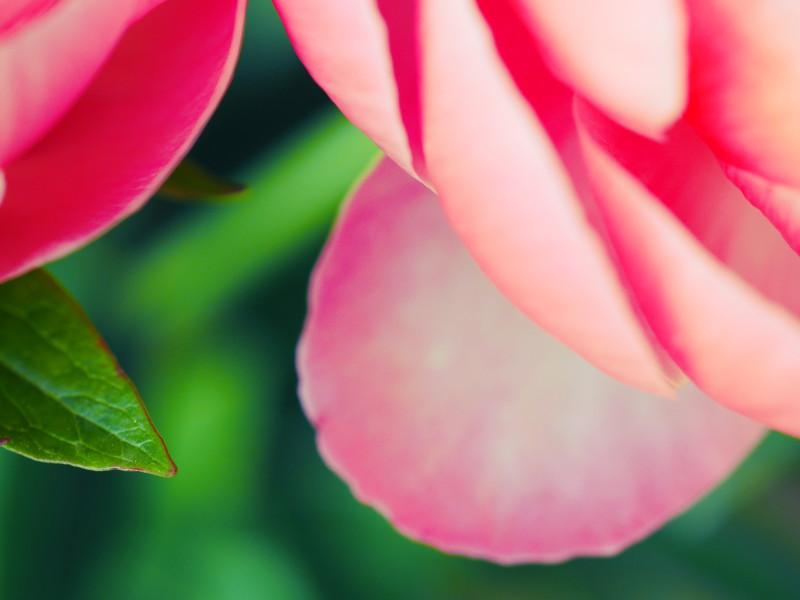 pétales roses de pivoines